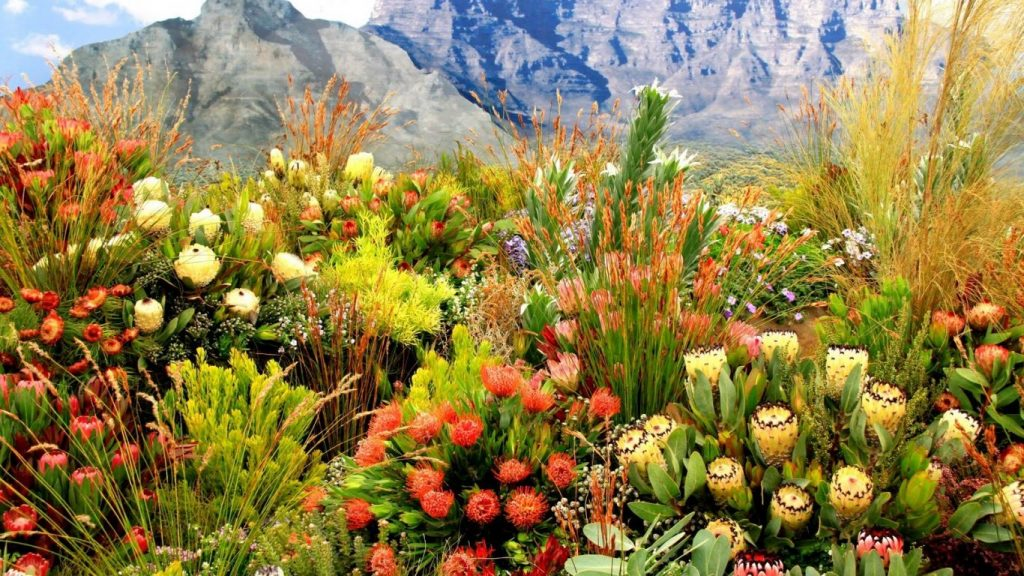 mountain-cape-spring-flowers-fields-grass-town-proteas-mountains-fynbos-plants-south-africa-desktop-wallpaper-hd-1366x768